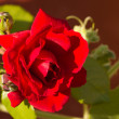 Stock Photo: Closeup of crimson rose