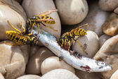 Closeup of three wasps ripping away chunks of dead fish — Stock Photo