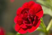 Closeup of a double Calibrachoa flower — Stock Photo