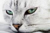 Muzzle of black and white cat — Stock Photo