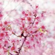 Stock Photo: Spring cherry blossoms