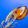 Orange Jellyfish close up in the deep blue sea — Stock Photo
