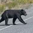 A black bear crossing the road in Alaska Britsh Columbia — Zdjęcie stockowe