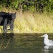 A black bear looking a seagull in Russian River Alaska — Foto Stock