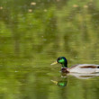 Isolated wild Duck while looking at you in the green background — Stock Photo #19007661