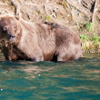 An isolated grizzly bear looking at you in Russian River Alaska — Stock Photo