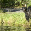 An isolated black bear looking at you in Russian River Alaska — Stock fotografie