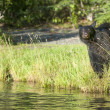 An isolated black bear looking at you in Russian River Alaska — Stock Photo