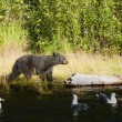 A black bear walking near Russian River in Alaska — Stock Photo