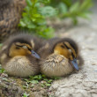 Two puppy Duck while sleeping — Stock Photo
