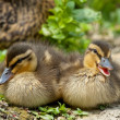 Two puppy Duck while  looking at you for easter holiday — Foto Stock