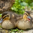 Two puppy Duck while  looking at you for easter holiday — Стоковая фотография