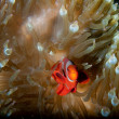 Red Clown fish in anemone with shrimps in Raja Ampat Papua, Indonesia — ストック写真