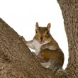 A squirrel looking at you while sitting on a tree whit open mouth and pink tongue — Stock Photo