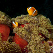 A couple of clown fish in the red and brown anemone over the black background — Foto Stock