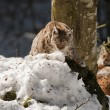 Two Lynx in the snow background while looking at you - Stock Photo