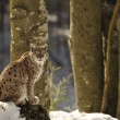 An isolated Lynx in the snow background while looking at you while sitting on a rock — Stock Photo #19008183