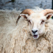 A big white ram sheep with long horns looking at you close up — Stock Photo