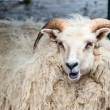 A big white ram sheep with long horns looking at you close up — Stock Photo #19008309
