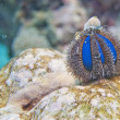 An isolated blue sea urchin while climbing on a rock — Stock Photo
