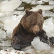 A black bear brown grizzly portrait in the snow while eating and playing with ice - Stock Photo