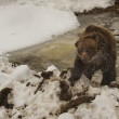 A black bear brown grizzly portrait in the snow and ice while looking at you — Stock Photo
