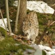 An isolated Lynx in the snow background while hunting looking at you — 图库照片