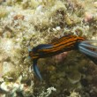 Stock Photo: Colorful nudibranch in Cebu Philippines