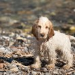 A very young puppy english cocker spaniel looking at you portrait at the beach — Stock Photo