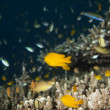 Stock Photo: Colorful school of fish in hard coral in Cebu Philippines