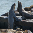 San Francisco Pier 39 two sea lions while fighting for the place — Stock Photo