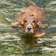 English cocker spaniel dog per puppy close up portrait while swimming and lookin at you — Stock Photo #19009281