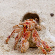 A red small crab with his shell walking on white sand close up — Stock Photo #19009447