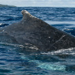 Huge close up Humpback whale back and tail going down in blue polynesian sea — Stock Photo #19009483