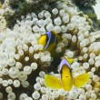 Red sea clown fish family portrait — Stock Photo