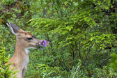 An isolated black tail deer while eating firebloom in Alaska in the forest green background — Stock Photo