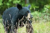 Un oso negro aislado en el fondo verde en alaska — Foto de Stock