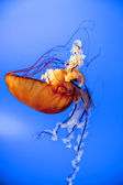 Jellyfish close up while swimming down in the deep blue sea — Stock Photo