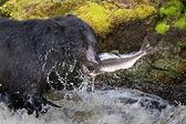 Czarny niedźwiedź jedzenie łososia w rzece z splash i krwi alaska szybkie jedzenie — Zdjęcie stockowe