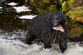 A black bear looking at you while eating a salmon fish in a river — Stock Photo