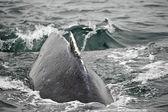 Enorme ballena jorobada vuelve cerrar splash baie glacier alaska — Foto de Stock