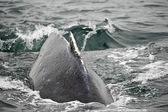 Huge Humpback whale back close up splash glacier bay Alaska — Stock Photo