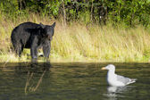 A black bear looking a seagull in Russian River Alaska — Stock Photo