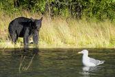 Um urso preto olhando uma gaivota em russo rio alasca — Foto Stock