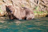 Um urso pardo isolado, olhando para você, em russo rio alasca — Foto Stock