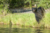 An isolated black bear looking at you in Russian River Alaska — 图库照片