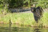 En isolerad svart björn som ser på dig på ryska floden alaska — Stockfoto
