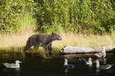 Un oso negro caminando cerca de río ruso en alaska — Foto de Stock