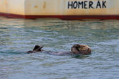 A sea otter swiming on the back in Homer, Alaska — Stock Photo