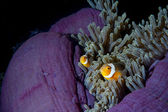 Clown fish in anemone with shrimps in Raja Ampat Papua, Indonesia — Stock Photo